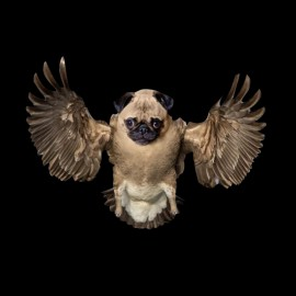 tee shirt pug bird noir